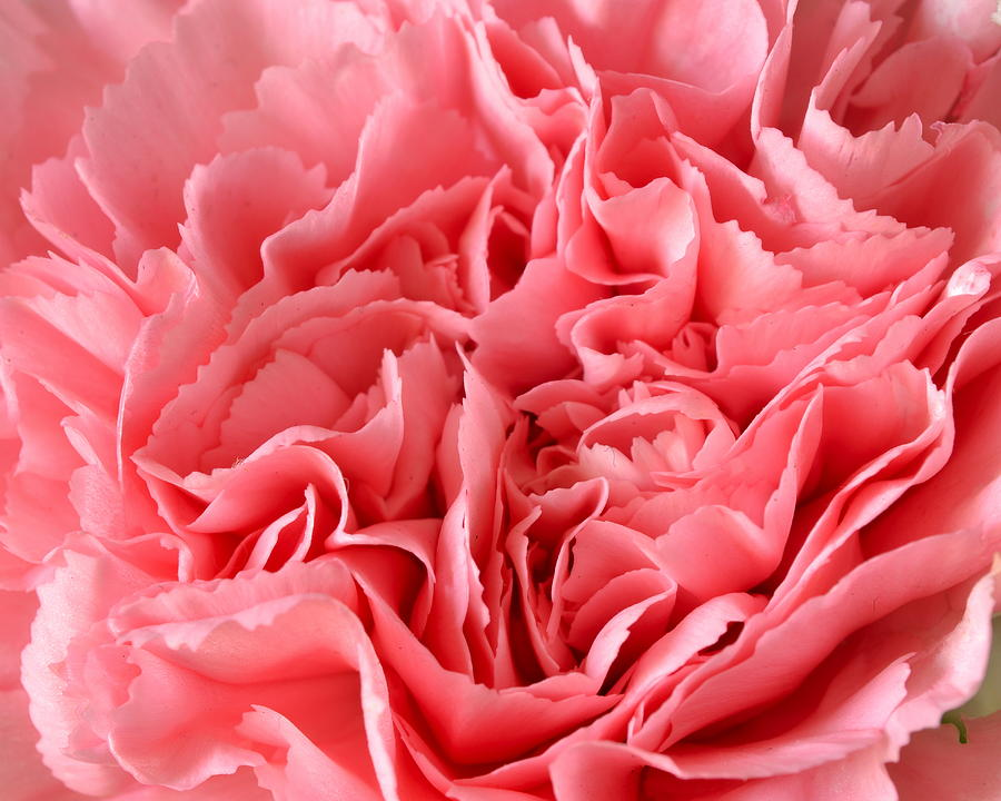 Flower Photograph - Pink Carnation by JD Grimes