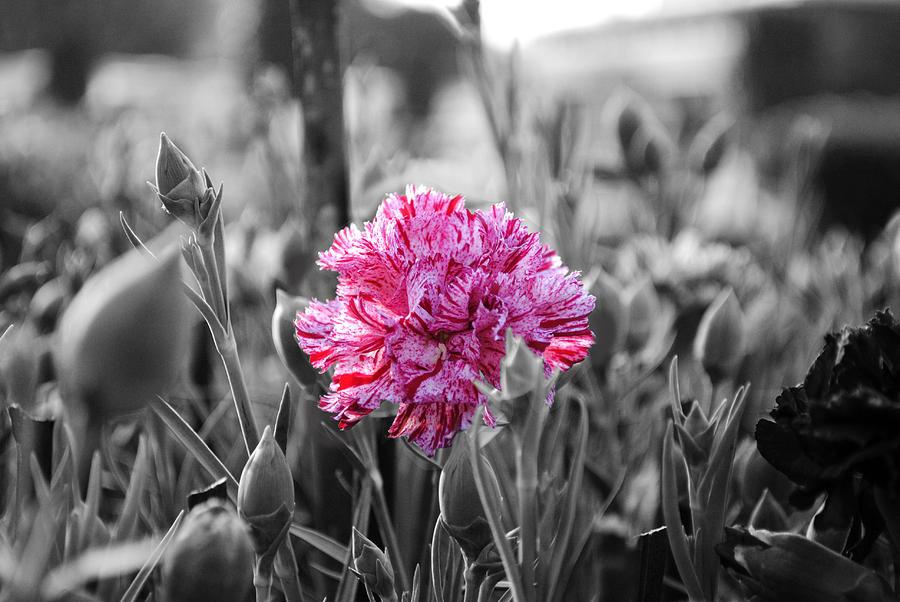 Pink Carnation Photograph - Pink Carnation by Sumit Mehndiratta