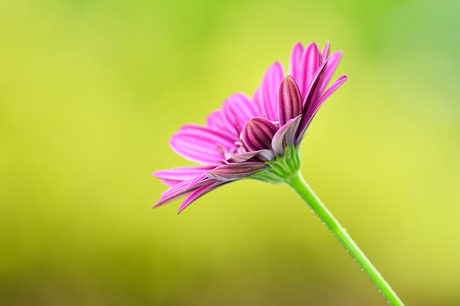 Green Photograph - Pink Chrysanthemum On Yellow Background by Hegde Photos