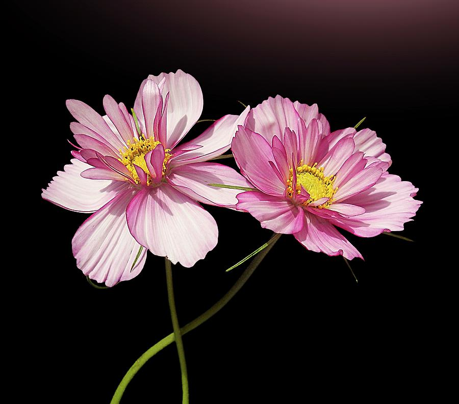 Horizontal Photograph - Pink Cosmos Flower by Gitpix