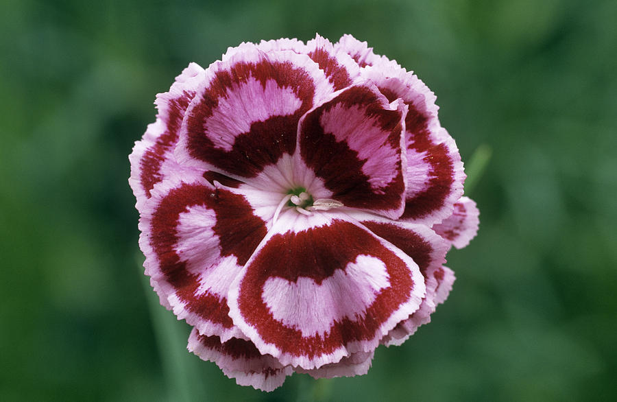 'becky Robinson' Photograph - Pink (dianthus becky Robinson) by Archie Young
