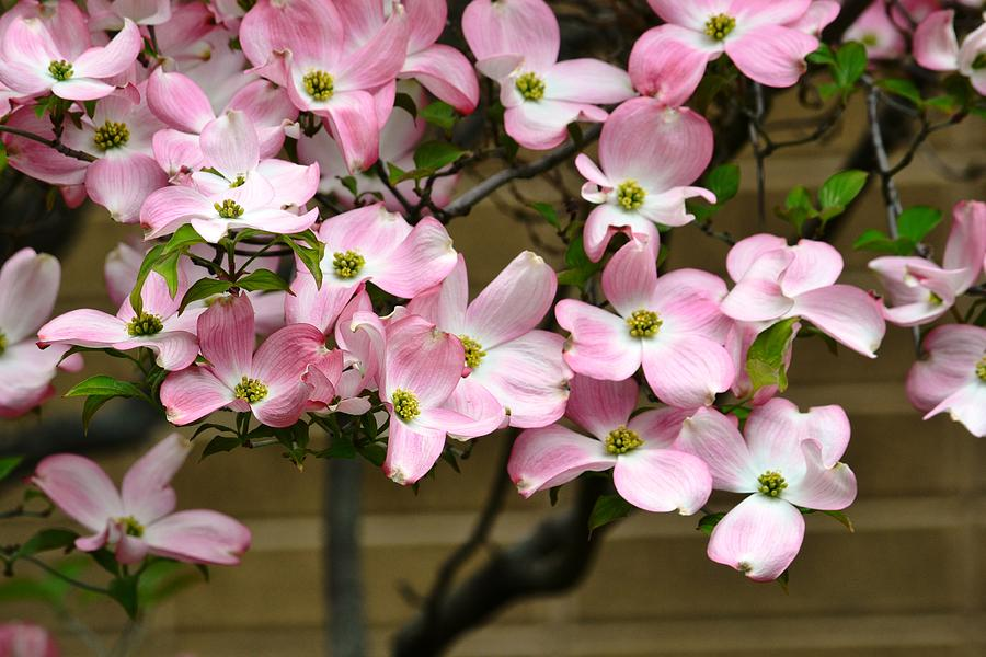 Pink dogwood flower tree photograph by p s pink photograph pink dogwood flower tree by p s mightylinksfo