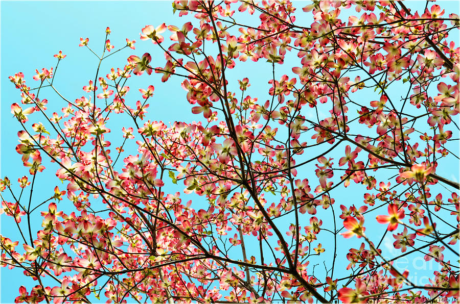 Nature Photograph - Pink Dogwood Sky by Debbie Portwood