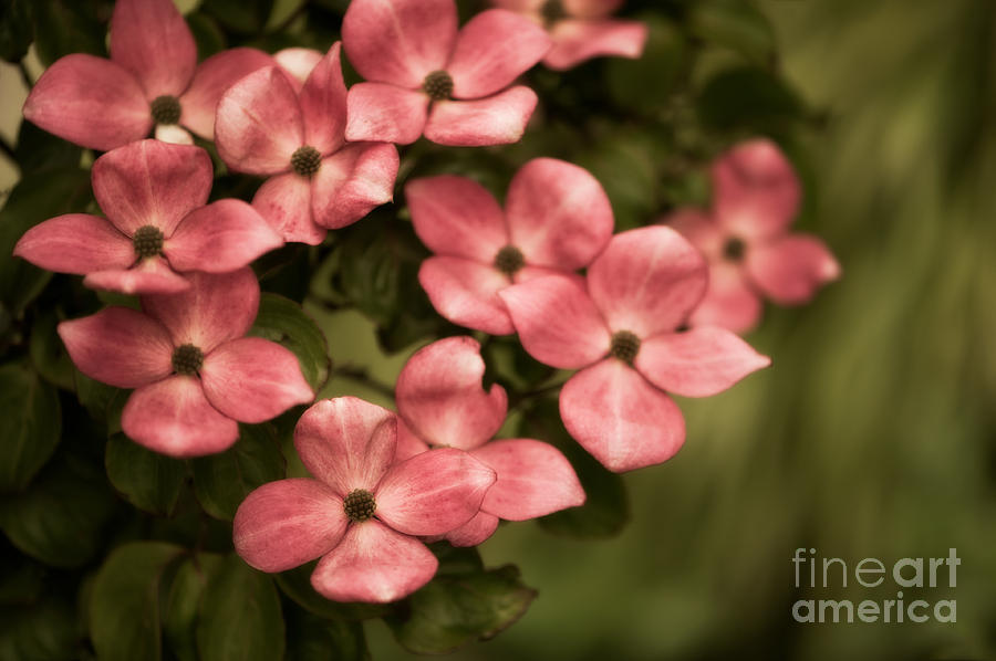 Blossom Photograph - Pink Dogwood by Venetta Archer