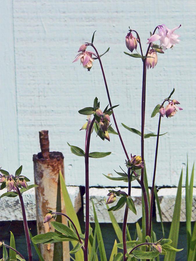 Columbine Plant Photograph - Pink Doves by Pamela Patch