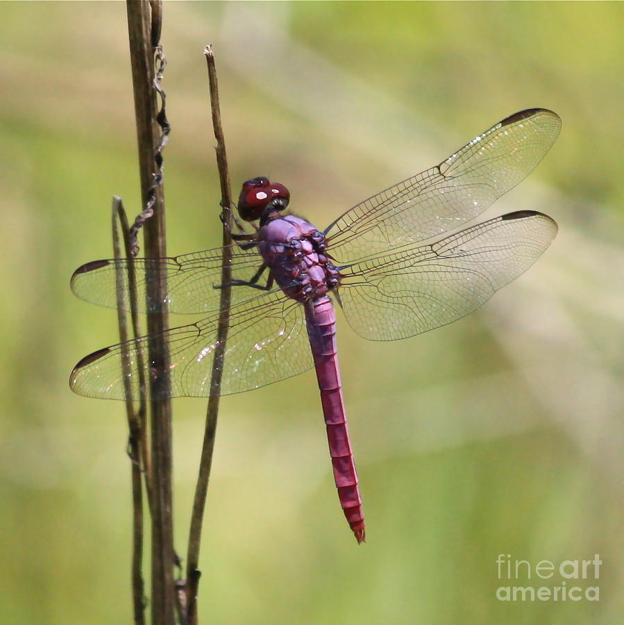 Dragonfly Photograph - Pink Dragonfly With Sparkly Wings by Carol Groenen