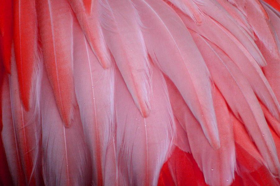 Pink Flamingo Feathers Photograph By Tony And Kristi Middleton