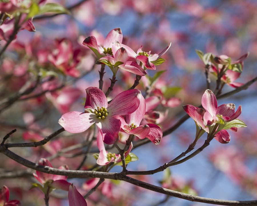 Pink flowering dogwood tree cornus florida photograph by kathy clark cornus florida photograph pink flowering dogwood tree cornus florida by kathy clark mightylinksfo