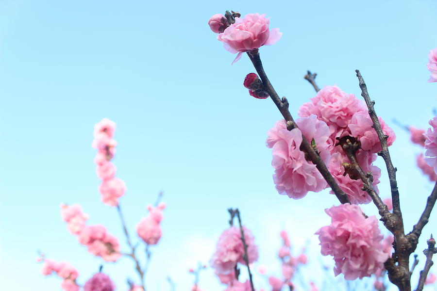 Flowers Photograph - Pink Flowers by Allen Jiang