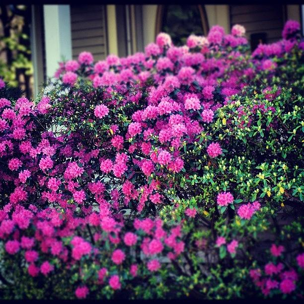 Pink Flowers Bush Garden Yard Photograph By Brian Townsend