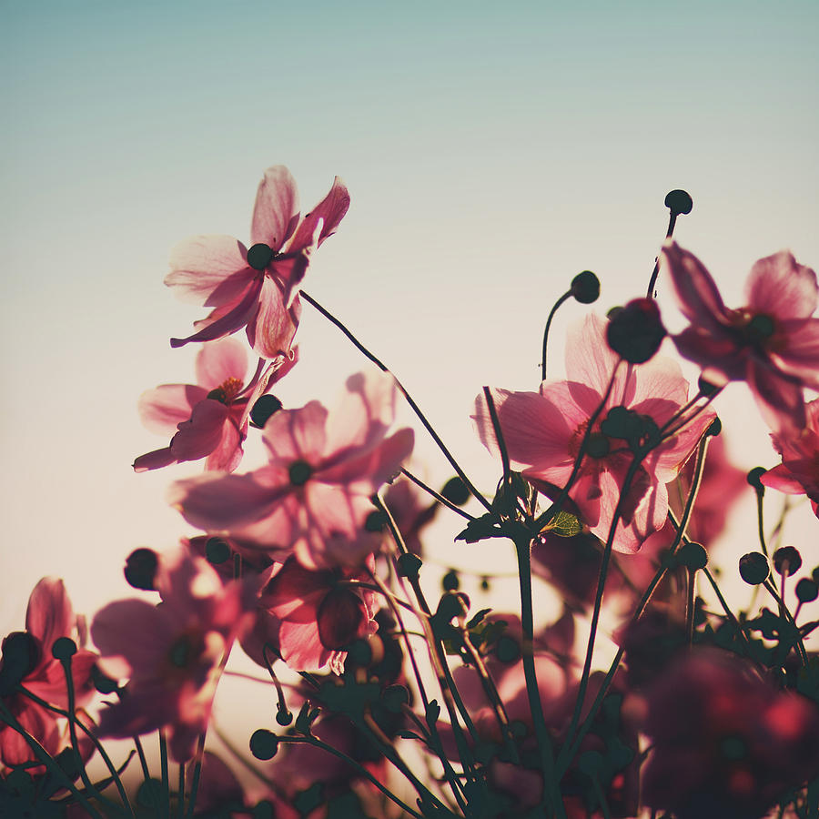 Square Photograph   Pink Flowers In Back Light By Julia Davila Lampe Photo Gallery