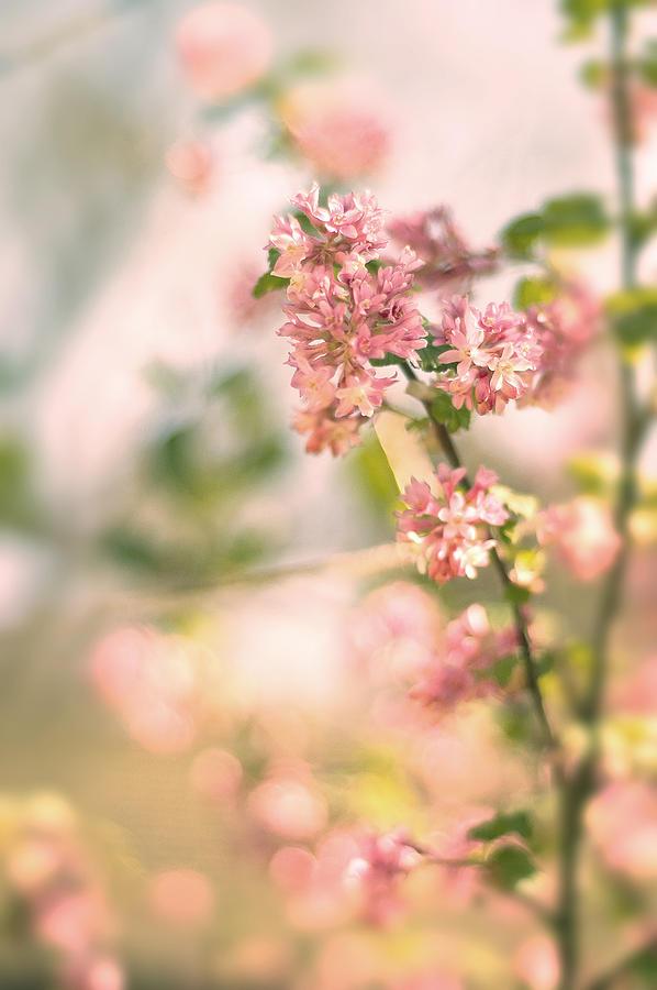 Pink Forsythia Blossom Photograph By Magdalena Warmuz Dent