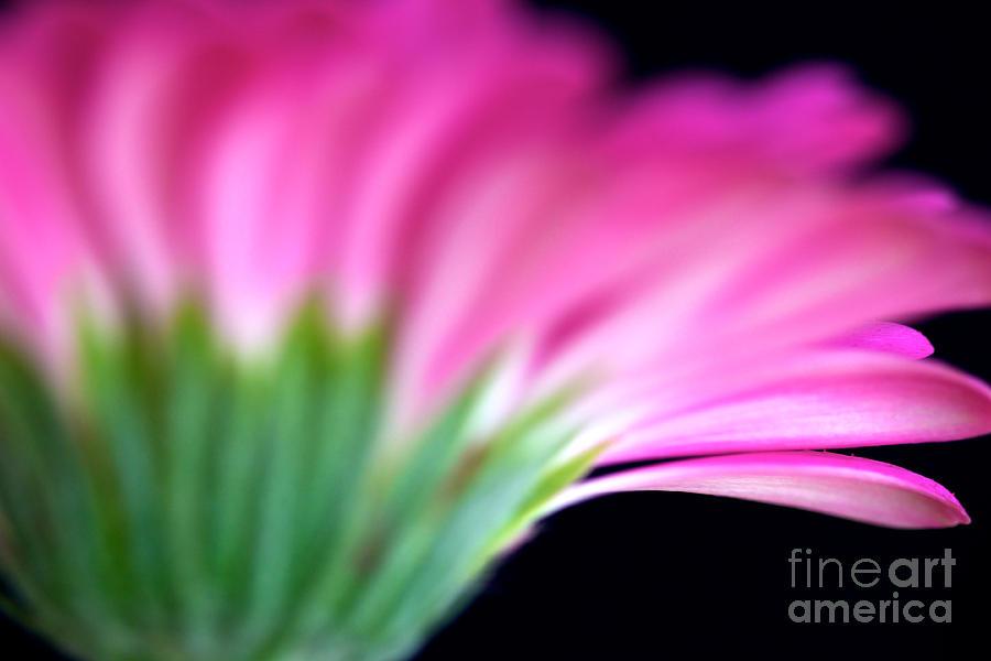 Flower Photograph - Pink Gerbera by Mihaela Limberea