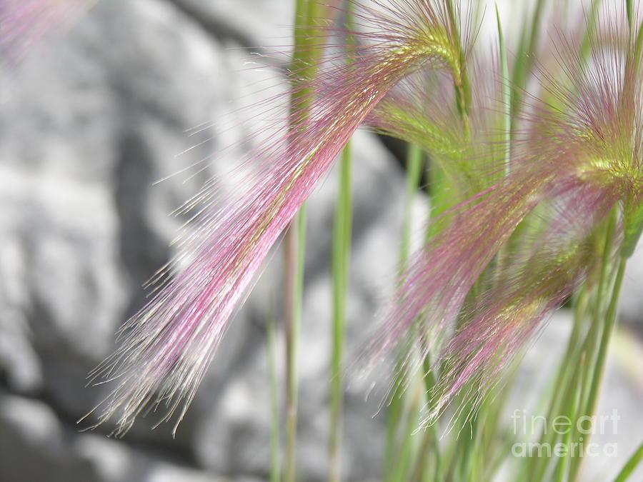 Jasper Photograph - Pink Grass by Alan Clifford