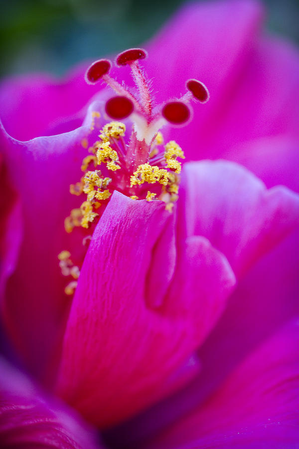 Pink Photograph - Pink Hibiscus 2 by Jessica Velasco