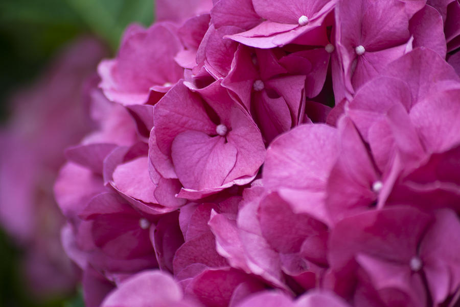 Pink Hydrangea by Jason Pryor