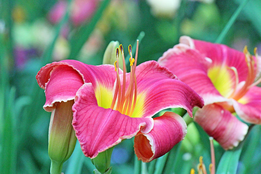 Becky Photograph - Pink Lilies by Becky Lodes