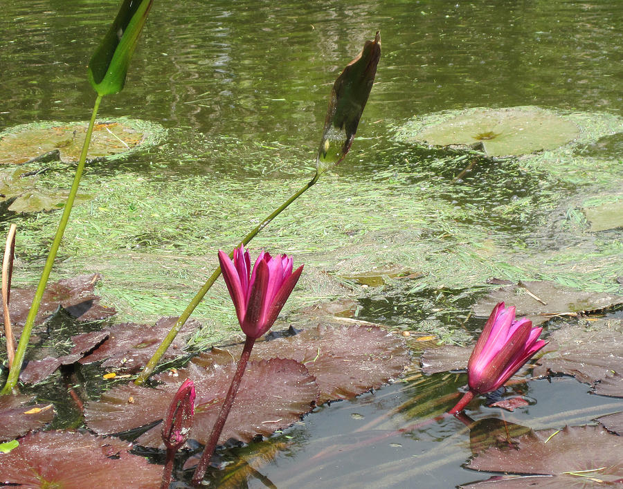 Lilly Photograph - Pink Lilly Pond by Rosie Brown