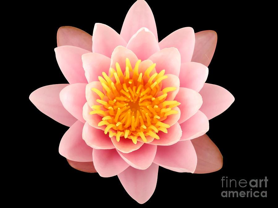 Pink Lotus Flower Photograph By Manuel Fernandes