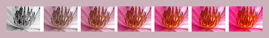 Flowers Photograph - Pink Lotus by Sumit Mehndiratta