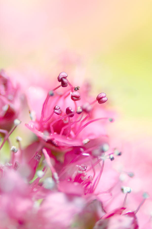 Flower Photograph - Pink Magic by Sharon Johnstone