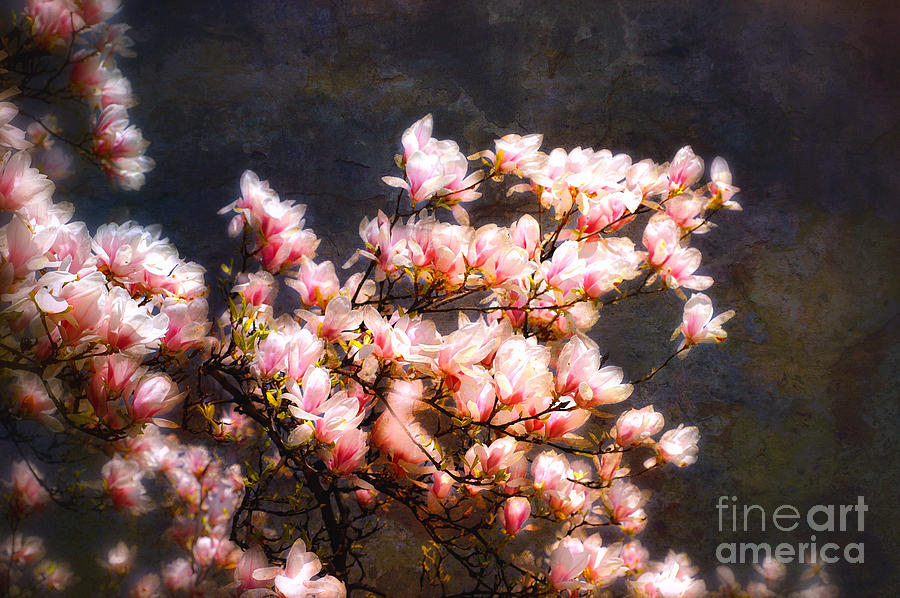 Flower Photograph - Pink Magnolias by Elaine Manley