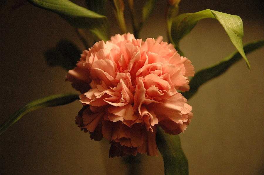 Marigold Photograph - Pink Marigold Flower by Rafael Figueroa