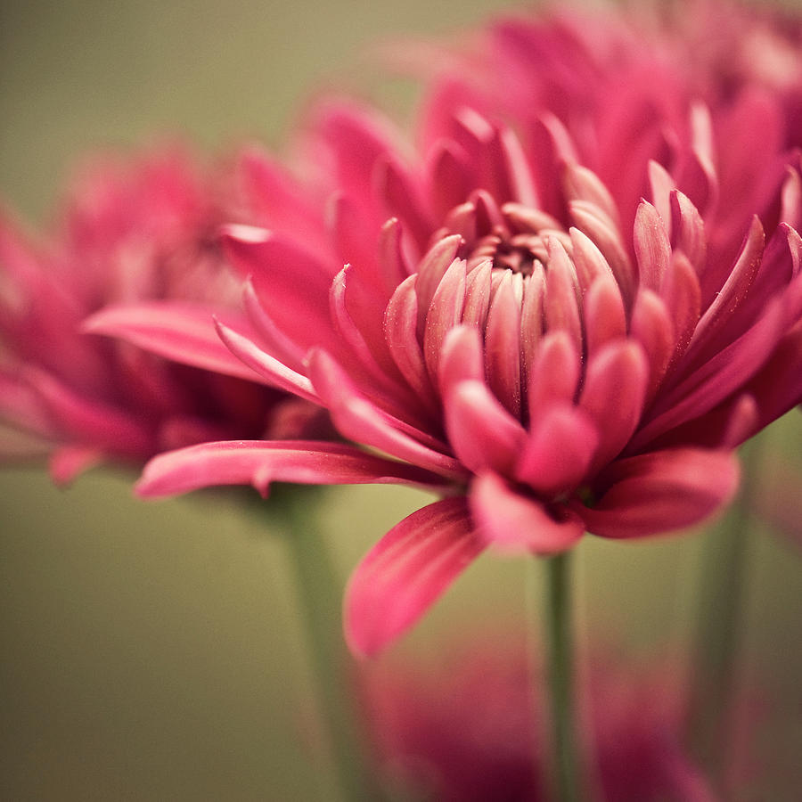 Pink Mum Flowers Photograph By Jody Trappe Photography