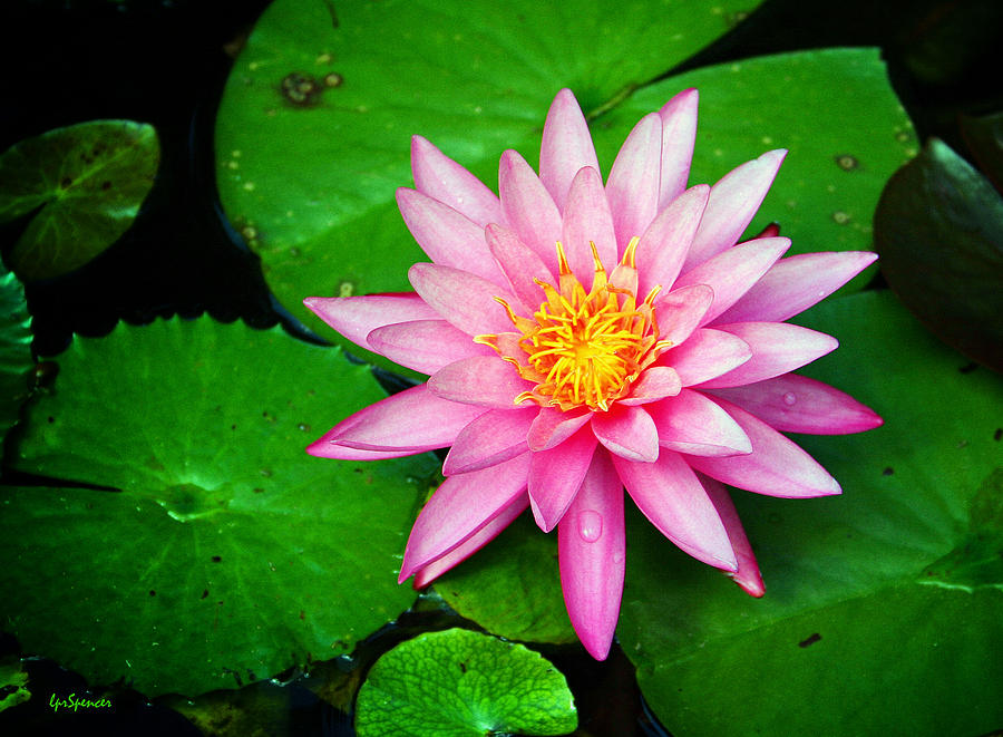 Water Lily Photograph - Pink Nymphaea by Lisa  Spencer