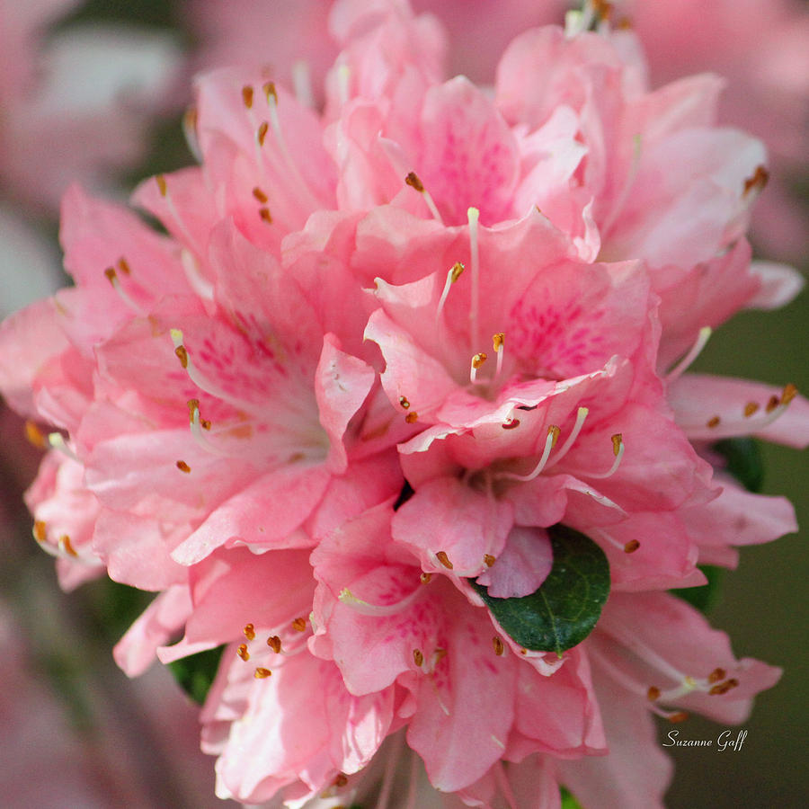Azalea Photograph - Pink On Pink Squared by Suzanne Gaff