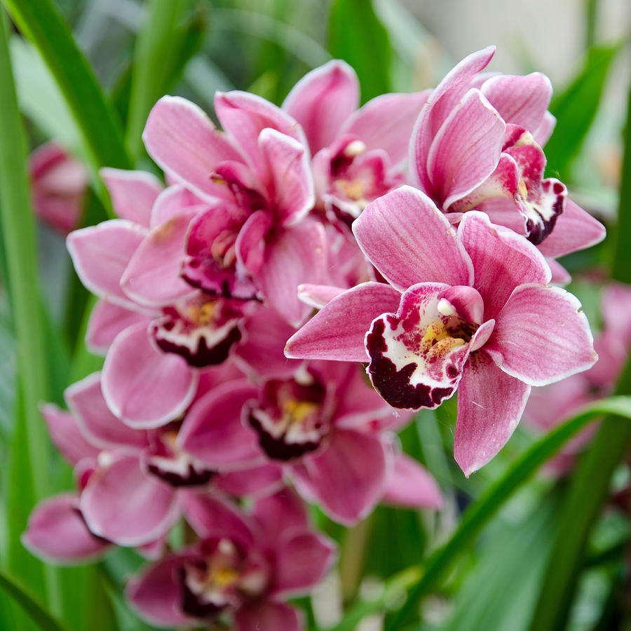 Pink Orchids Photograph By Margaret Pitcher