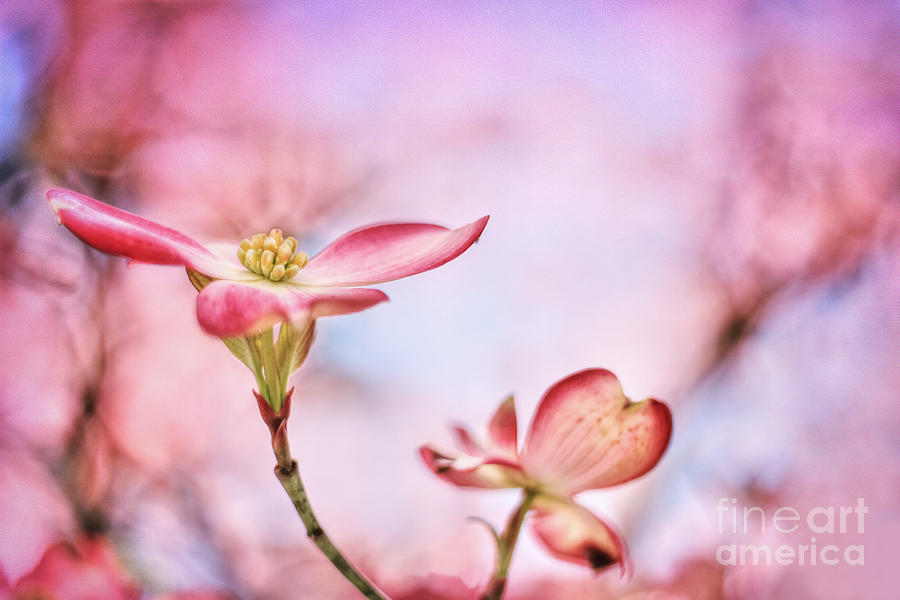 April Photograph - Pink Passion by Darren Fisher