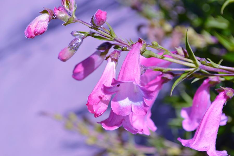 Pink Photograph - pink Penstemon  by Saifon Anaya
