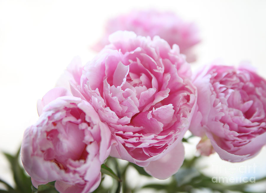 Pink Peonies Photograph By Ruby Hummersmith