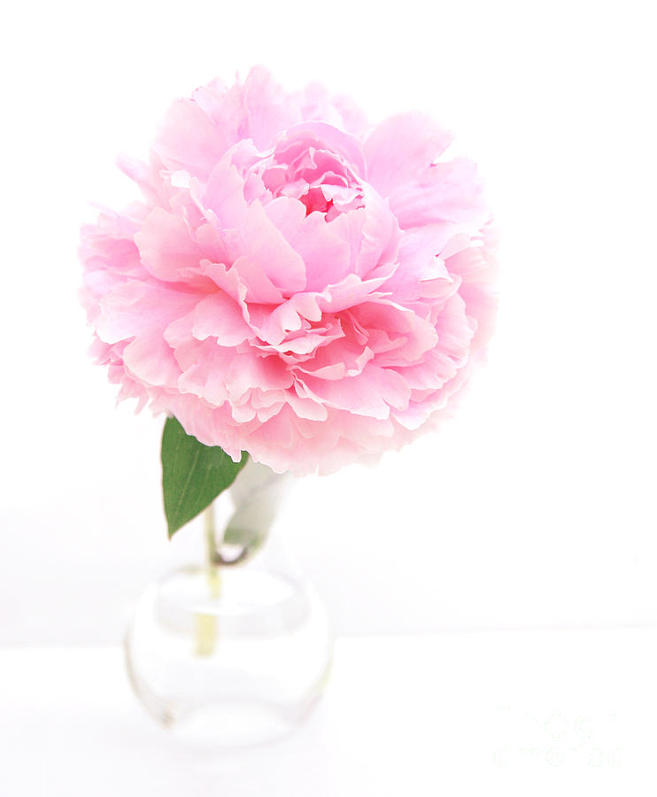 Pink Peony In Glass Vase Photograph By Susan Wall