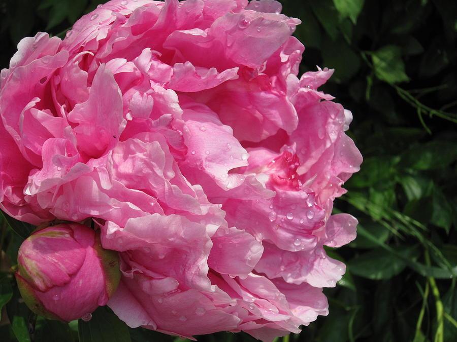 Pink Peony Photograph by Lenie Czarniecki