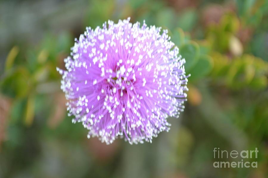 Pink Photograph - Pink Pompom by Saifon Anaya