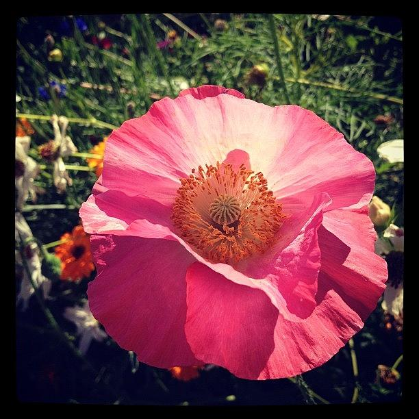 Pink Poppy 2 Photograph by Gracie Noodlestein