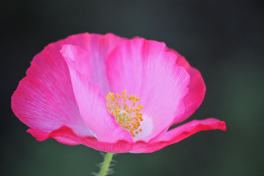Pink Poppy 3 Photograph By Diana Hatcher