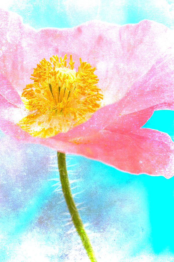 Poppy Photograph - Pink Poppy On Blue by Carol Leigh