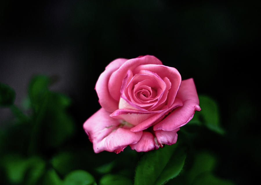 Horizontal Photograph - Pink Rose by Annfrau
