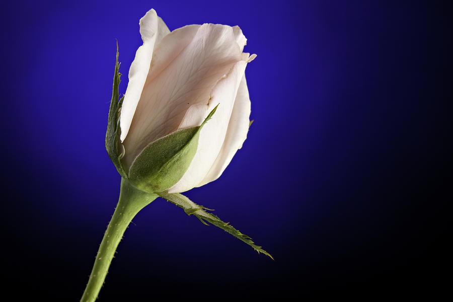 Rose Photograph - Pink Rose Bud Blue Background by M K  Miller