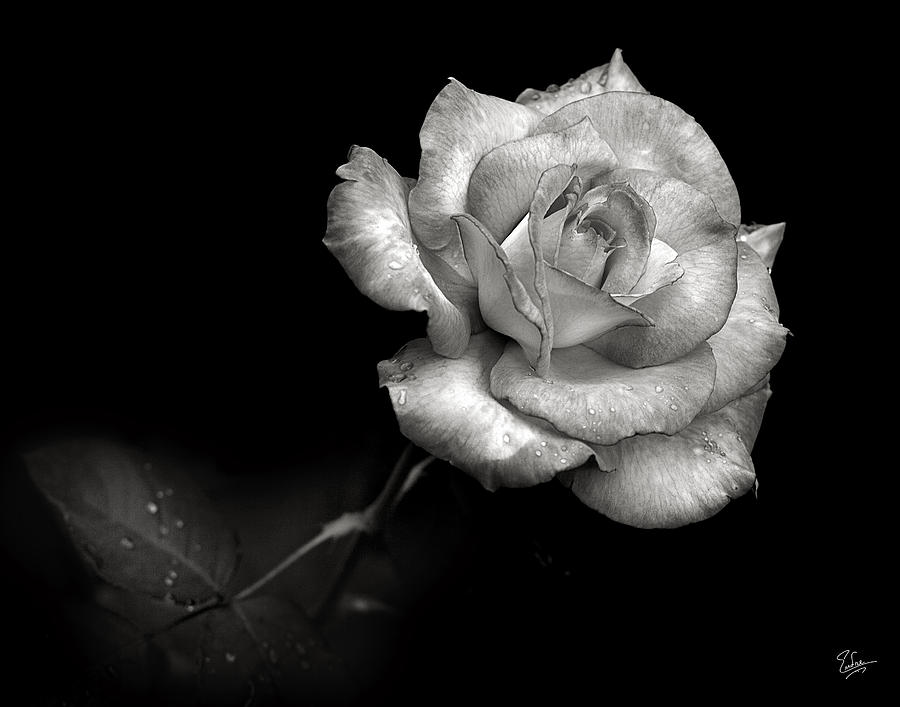Flower photograph pink rose in black and white by endre balogh