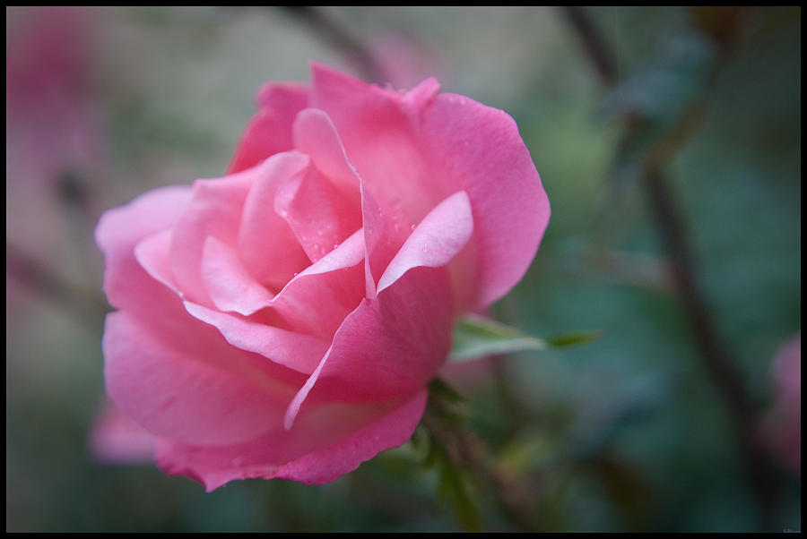 Background Photograph - Pink Rose by Kelly Rader