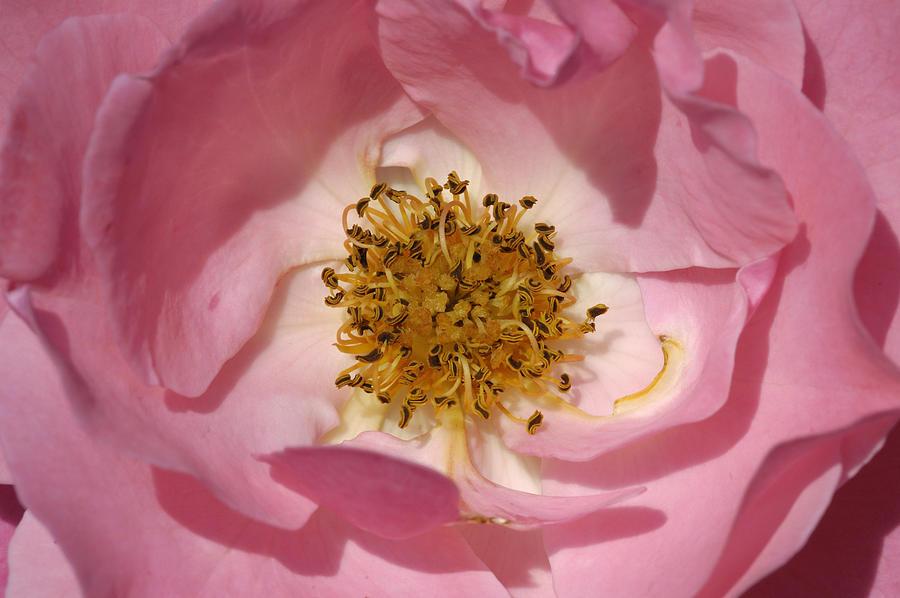 Rose Photograph - Pink Rose by Matthias Hauser