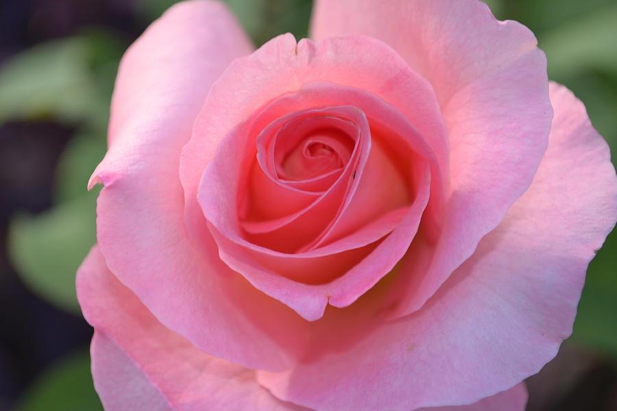Pink Photograph - Pink Rose by Naomi Berhane
