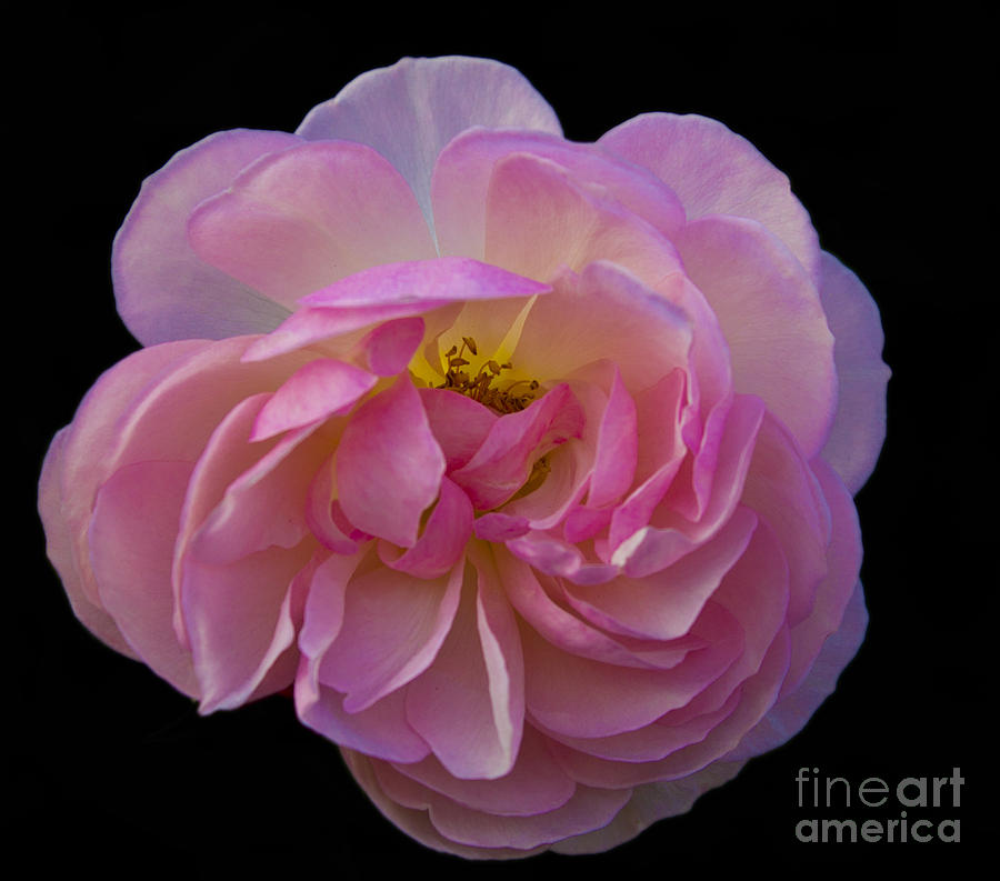 Pink Photograph - Pink Rose On Black by Ursula Lawrence