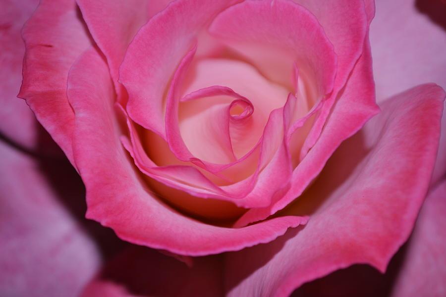 Rose Photograph - Pink Rose by Saifon Anaya