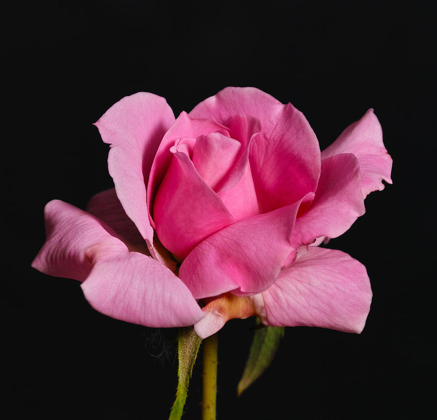 Rose Photograph - Pink Tea Rose by Gary Dean Mercer Clark