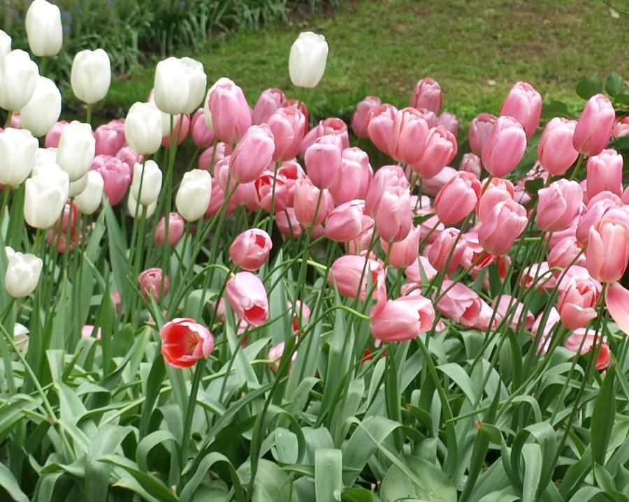 Flowers Photograph - Pink Tulips by Larry Krussel